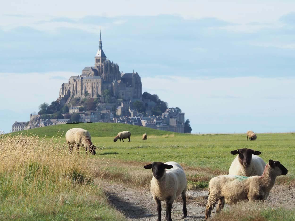 Saint-James-Mont-Saint-Michel-mit Schafen